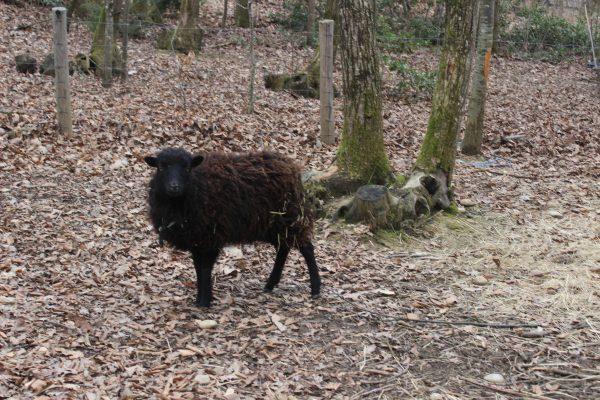 Mouton Ouessant femelle au nom de Clochette