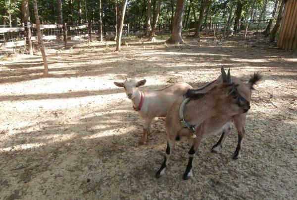 Chèvre noisette et châtaigne